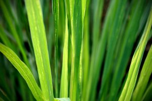 lemon-grass-1354904